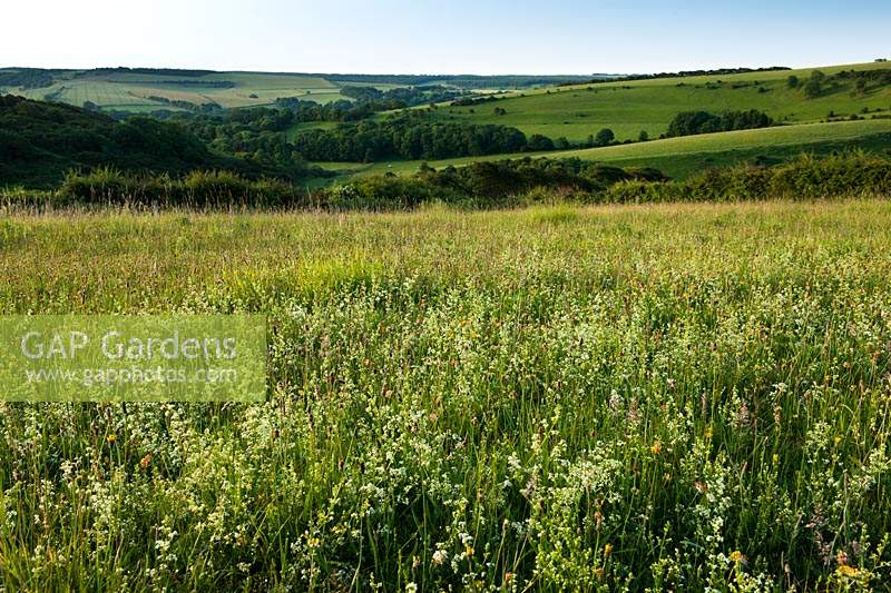 Hedge Bedstraw Gallium mollugo Meadowdown East Sussex summer white yellow native wild meadow field south downs view rolling hill