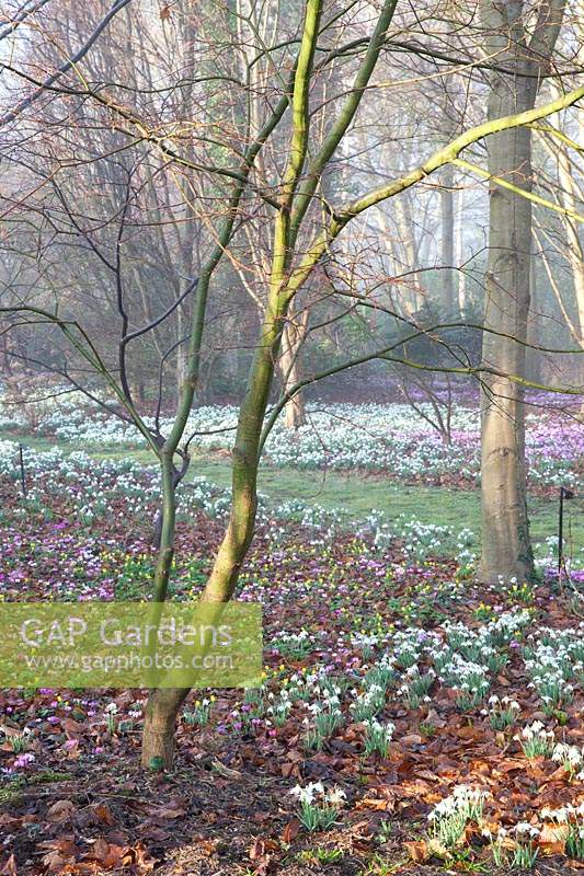 Ground cover of flowering snowdrops, Cyclamen coum and aconites under tree in The Arboretum, Highgrove, February, 2019.
