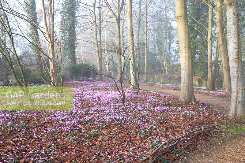 Flowering snowdrops and Cyclamen coum in The Arboretum, Highgrove, February, 2019.