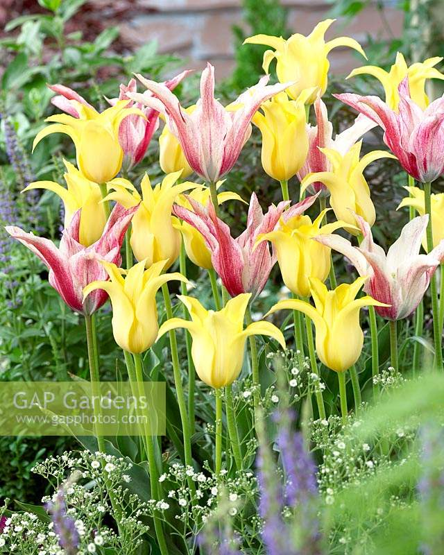 Tulipa Magic Wings, yellow lily-flowering