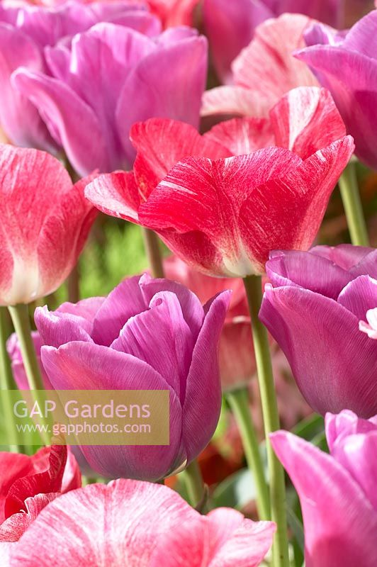 Tulipa Hemisphere, Magic Lavender