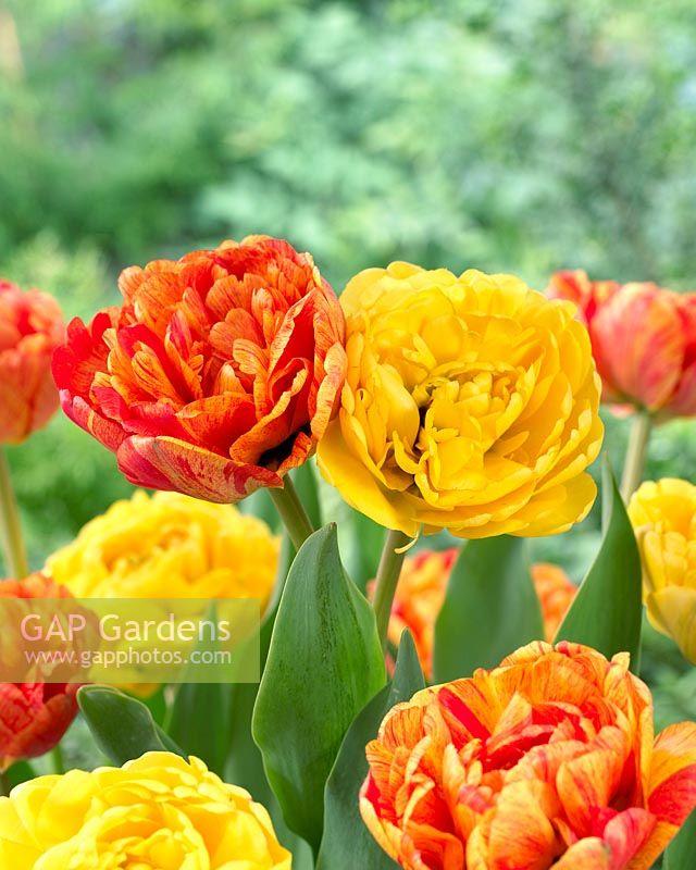 Jumasa 44001545 Tulipa Lateral