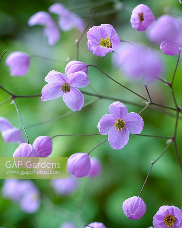 Thalictrum Splendide