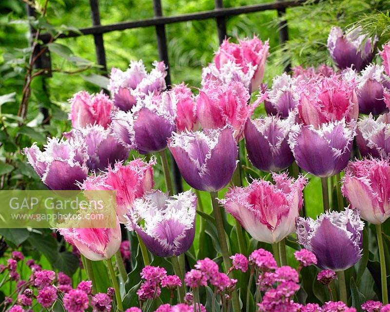 Tulipa Cummins, Huis ten Bosch ®