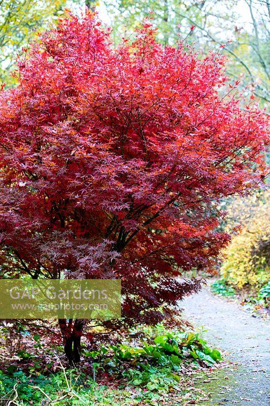Acer Skeeters Broom Rhs Garden Design Ideas