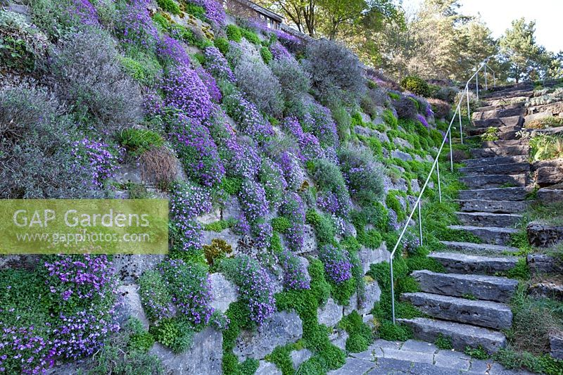 A dry stone wall planted with Aubrieta columnae subsp. croatica, April.