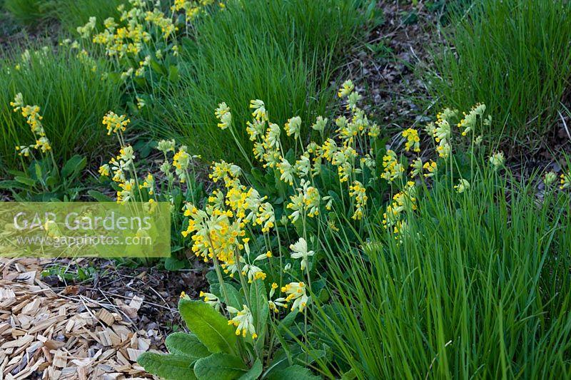 A slope planted with Primula veris and Sesleria autumnalis, April