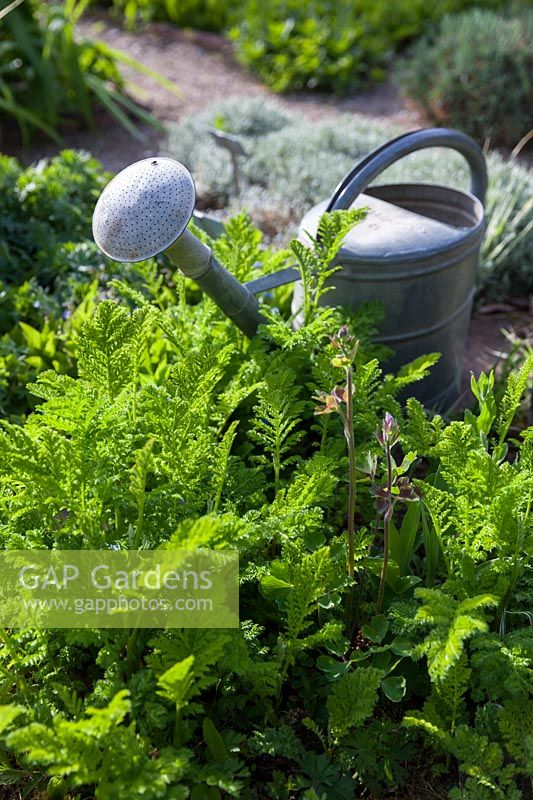 Tanacetum vulgare L. 'Crispum' with watering can, April