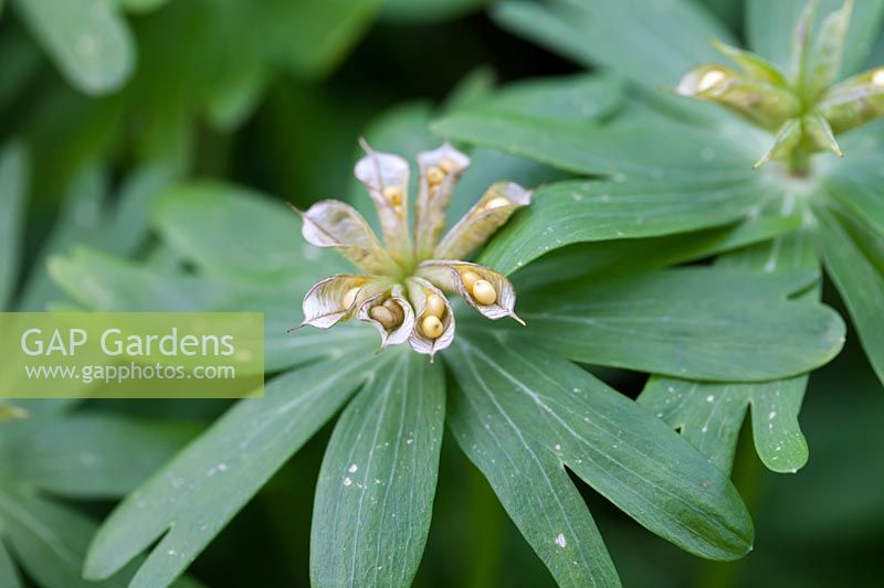 Seedheads of Eranthis hyemalis - Winter Aconites
