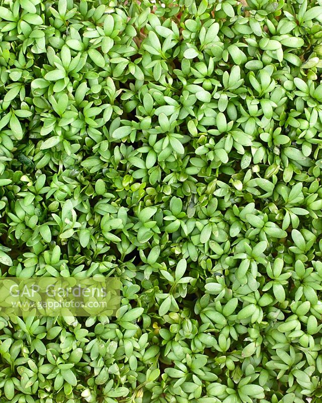 Lepidium sativum, garden cress