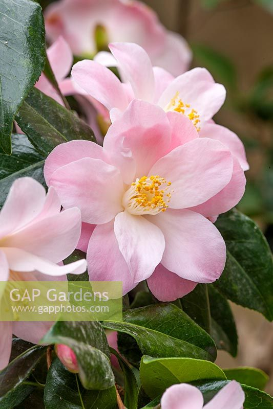 Camellia japonica 'Berenice Boddy', a semi-double with light pink flowers, sometimes streaked white