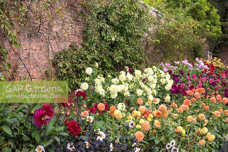 A border of flowering Dahlia at Newby Hall and Garden, Yorkshire.