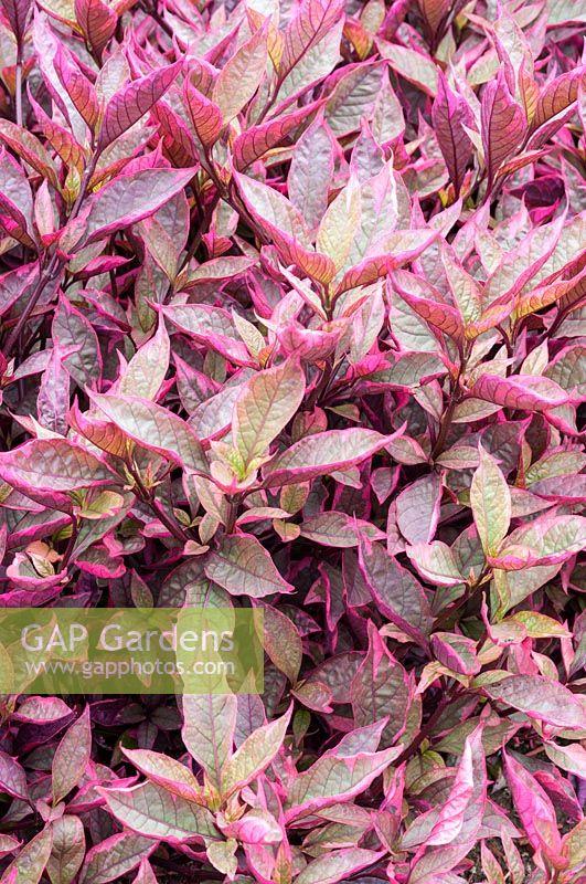 Gap Gardens Alternanthera Dentata Brazilian Red Hots Image No