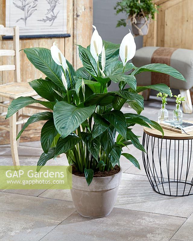 Spathiphyllum 'Sweet Lauretta' - peace lily