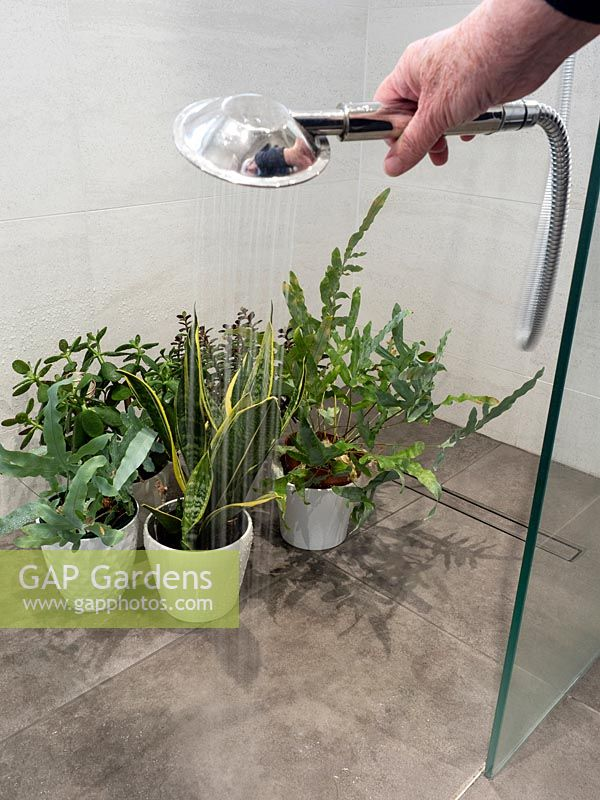 Person watering selection of houseplants in tiled shower.