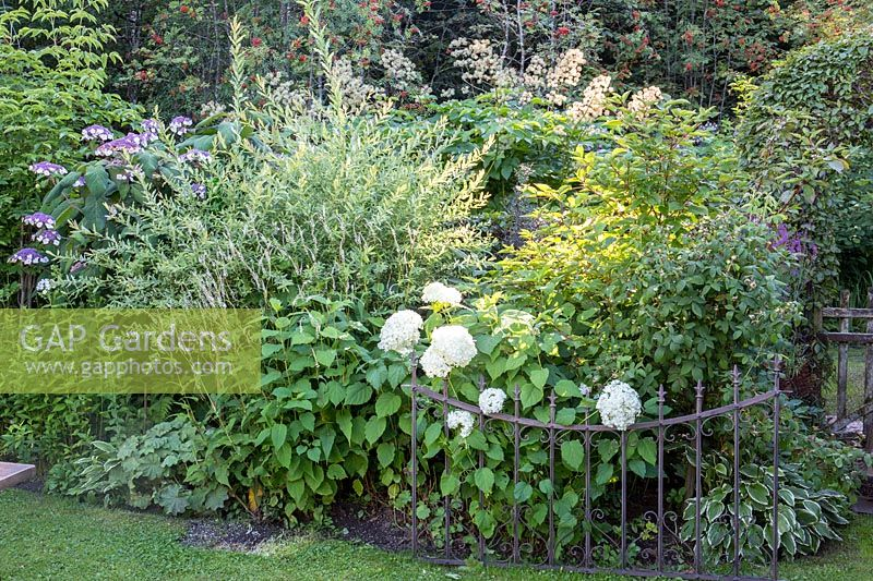 An antique metal railing supports the stems of Hydrangea 'Annabelle'.