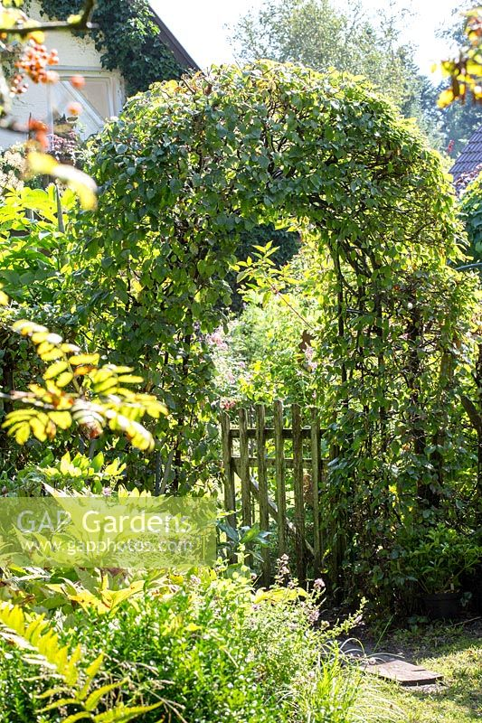 View to an arch of clipped Carpinus betulus - Hornbeam  - and a wooden gate.