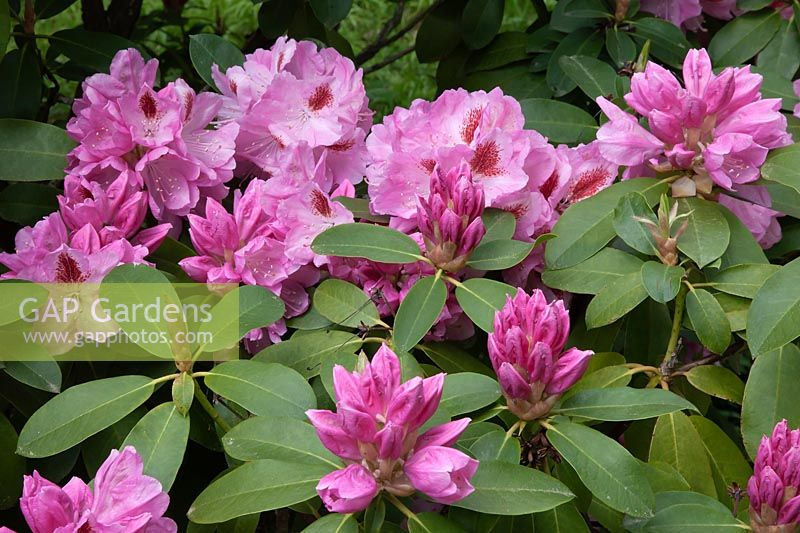 Rhododendron 'Mrs Furnival'