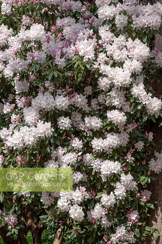 Rhododendron 'White Pearl'