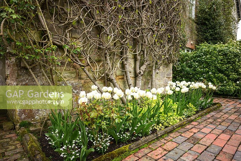 Flowering Tulipa in bed below wall trained Ficus carica - Fig tree. Pashley Manor Gardens, East Sussex, UK.