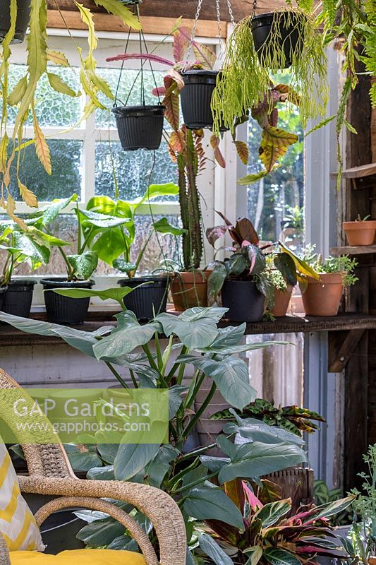 View inside conservatory showing collection of frost tender houseplants.