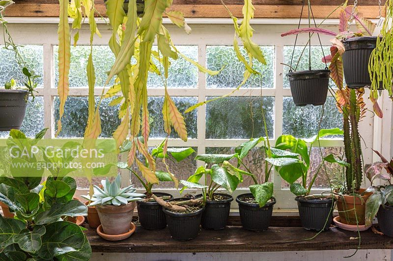 Conservatory shelf full of frost tender potted plants.