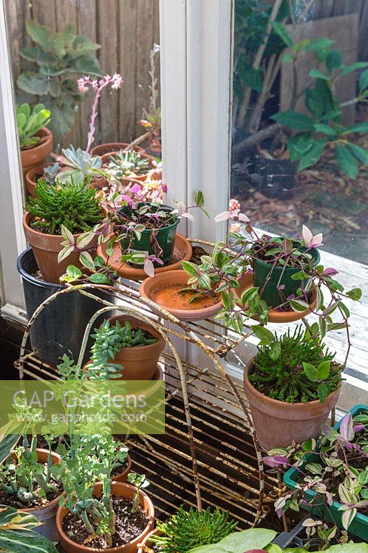 Conservatory windowsill full of frost tender potted plants.