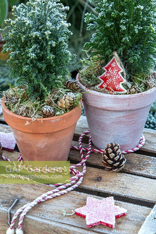 Miniature conifers used in frosty wintery scene as mini Christmas trees