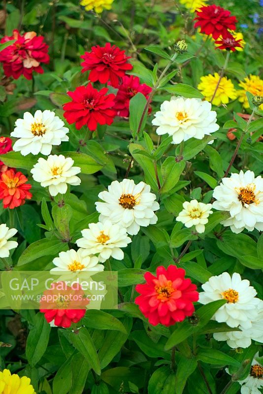 Zinnia x hybrida 'Profusion Double Mixed' - Hot Cherry, White and Yellow