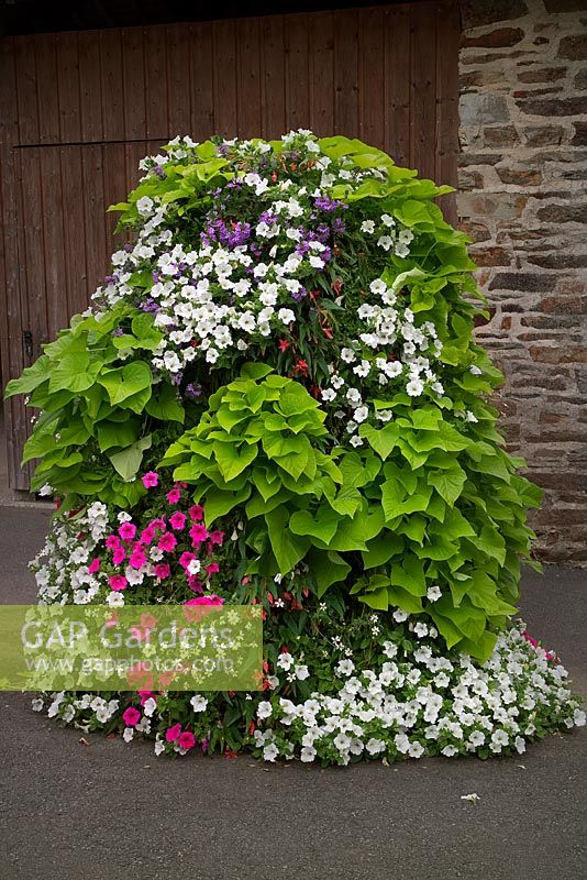 A flower tower with Ipomoea Sweet Heart 'Light Green', Scaevola and Petunias