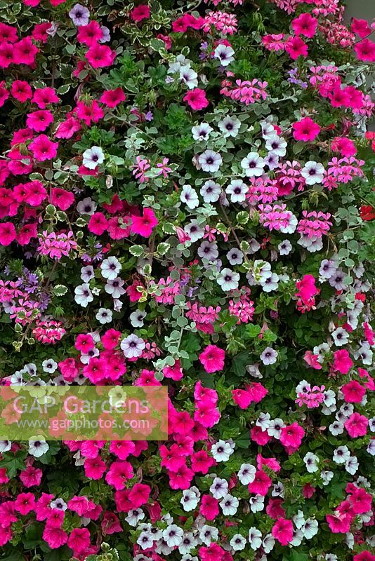 View of flowering petunia and Pelargonium.