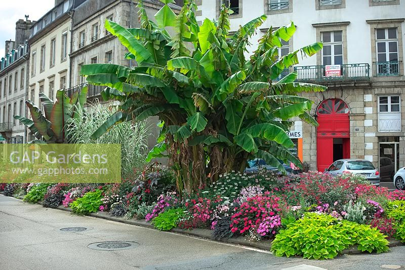 Musa basjoo and Ensete ventricosum 'Maurelii' - ornamental bananas - underplanted with seasonal summer bedding plants, Morlaix, Britanny, France.