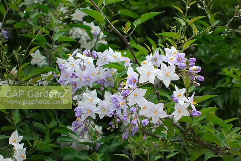 Solanum laxum 'Album' - potato vine