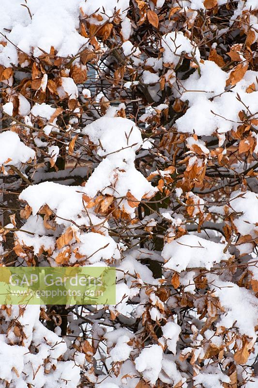 Fagus - beech hedge covered with snow