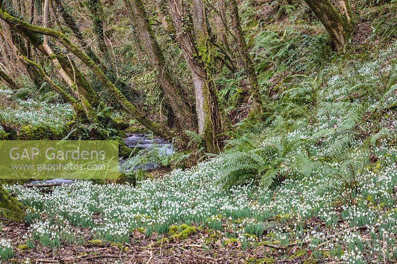Sloping woodland floor with a drift of Galanthus nivalis -  snowdrops