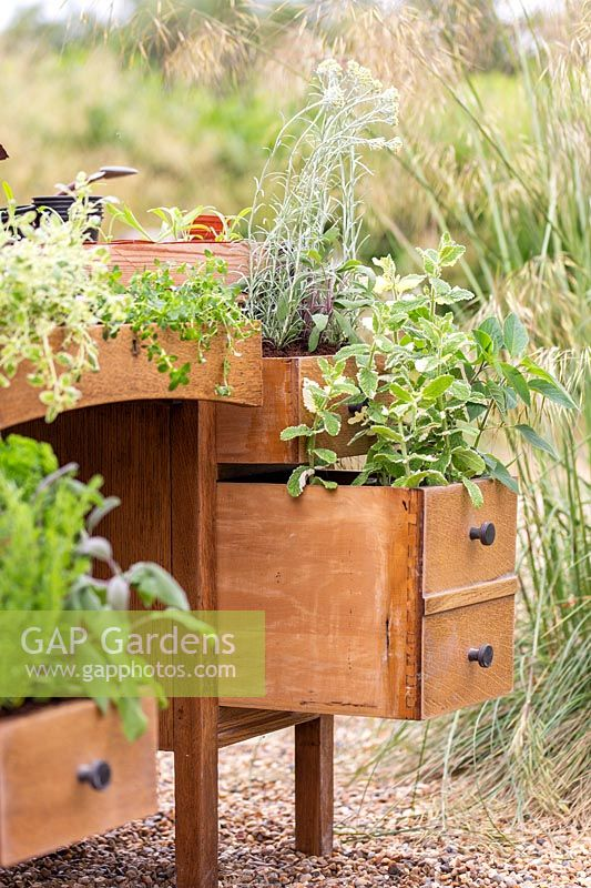 Drawers of old wooden desk planted with herbs, Sage, Mint, Curry plant and Tarragon