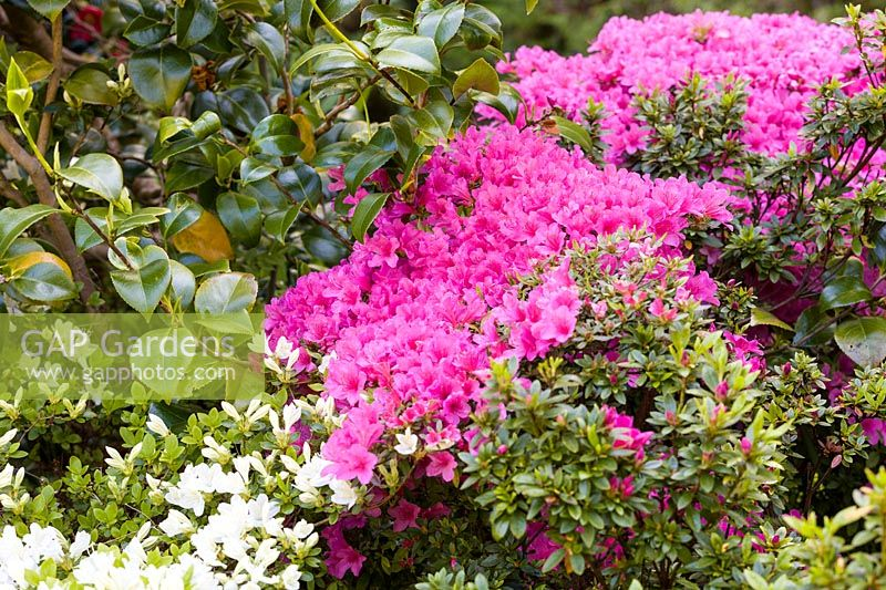 Azaleas at Ty Hwnt Yr Afon, Conwy, North Wales - photographed in May