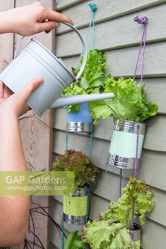 Watering lettuce in hanging strings of tin cans