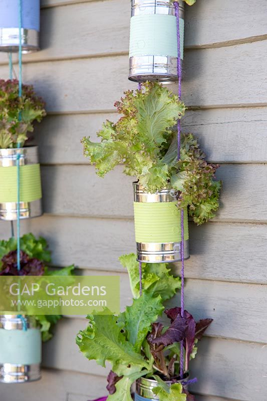 Detail of strings of painted tin cans planted with lettuce