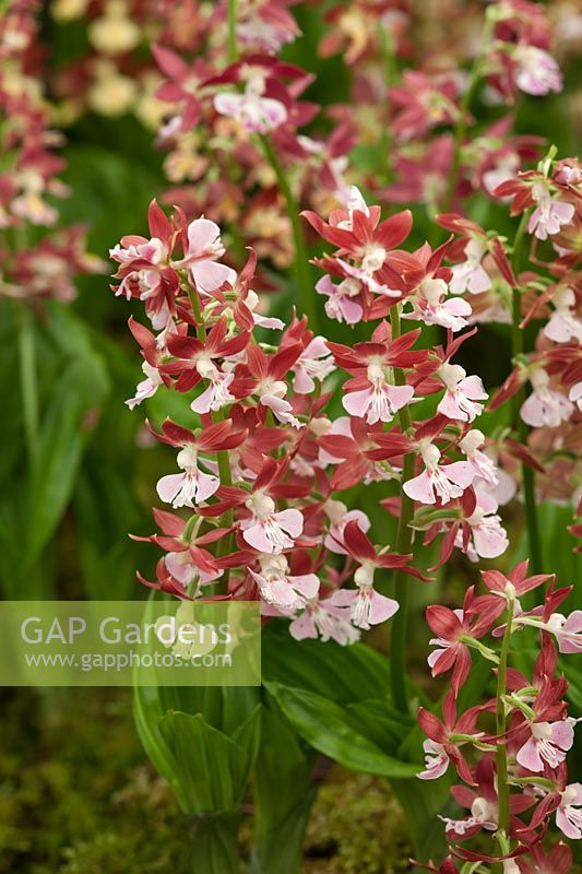 Calanthe satsuma x kozu - Jacques Armand International Ltd - RHS Chelsea Flower Show 2018