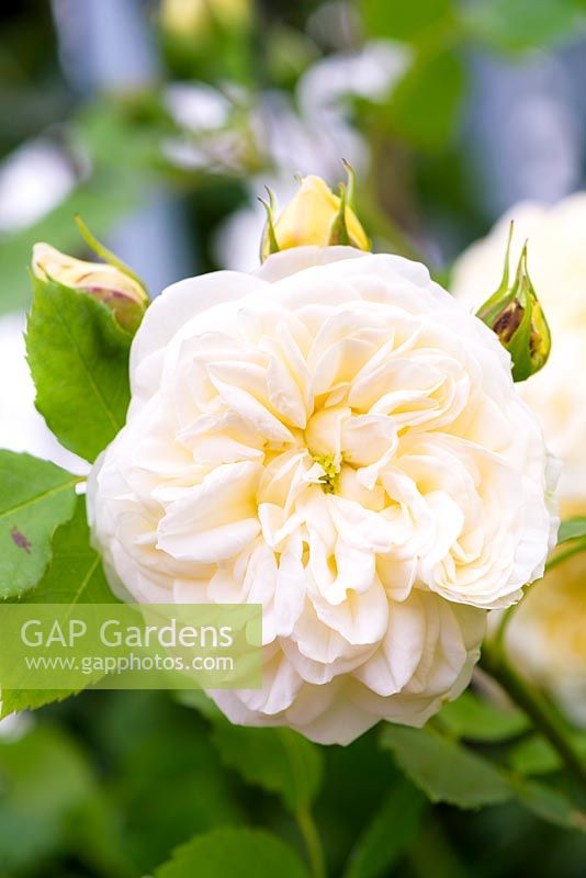 Rosa 'Eirene' - New for 2018 - Fryer's Roses - RHS Hampton Flower Show 2018