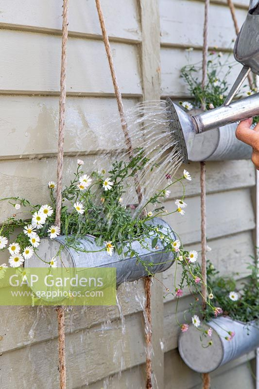 Woman watering hanging containers of flowering Erigeron 'Profusion'.