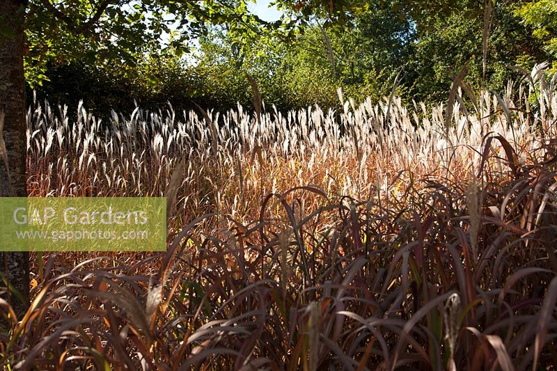 Grass seedheads. Gardens of Thought. Festival des Jardins 2018, Chaumont sur Loire, France.
