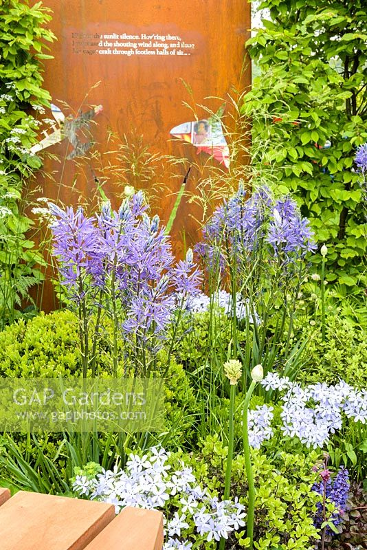 Carpinus betulus hedge and weathered steel panel with Camassia leichtlinii. 'Memories of Service' RAF 100 Appeal, RHS Malvern Spring Festival, 2018. -Design: Wilson Associates Garden Design