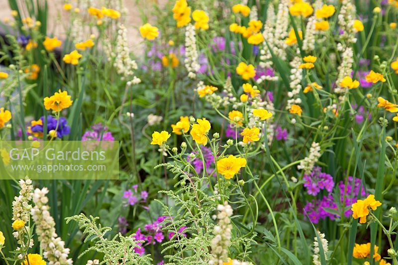 Mixed planting of Geum 'Lady Stratheden', Iris sibirica 'Blue KIng' and Primula beesiana - The Great Outdoors Garden, Sponsered by Allgreen Group Handspring Design Knowl Park Nurseries, RHS Chatsworth Flower Show, 2018.