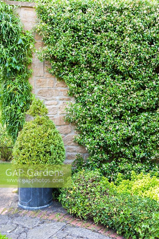 View of clipped Buxus pyramid and Trachelospermum jasminoides in walled garden. Mill House, Netherbury, Dorset, UK