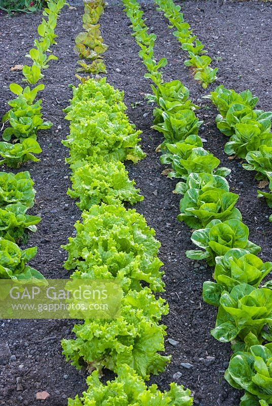 Long neat rows of lettuce growing in weed-free soil, lettuce sown in succession