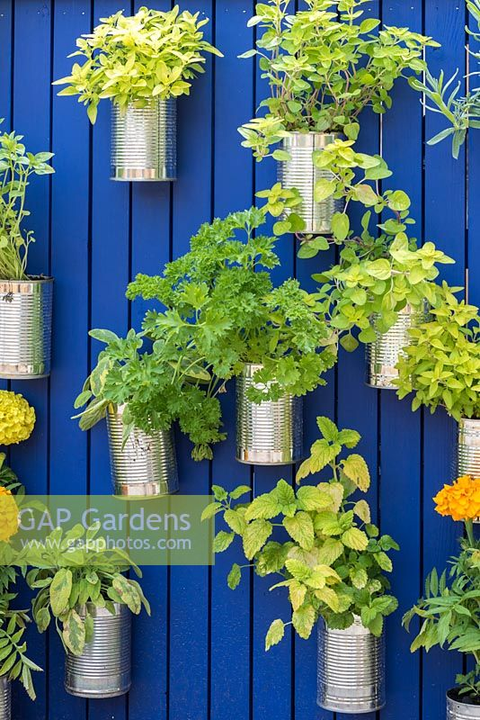 Recycled cans are planted with sage, mint, parsley and oregano, and suspended from a wooden panel, painted blue.