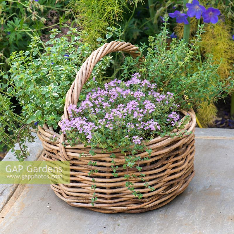 a small Thyme Herb Basket with three different varieties: Thymus vulgaris - common Thyme, Thymus serphyllum 'Russettings' - Creeping Thyme, and variegated Thymus pulegiodes 'Foxley'.