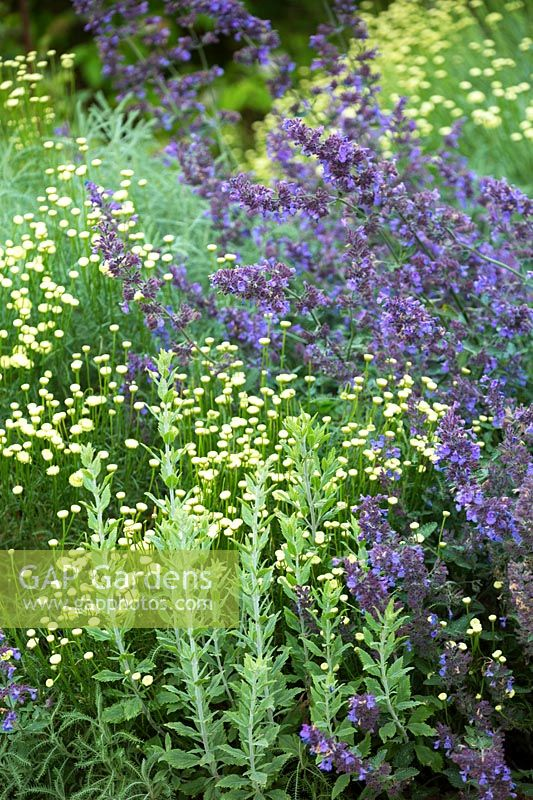 Salvia x sylvestris 'Mainacht' - Wood Sage - and Santolina rosmarinifolia - Lavender cotton